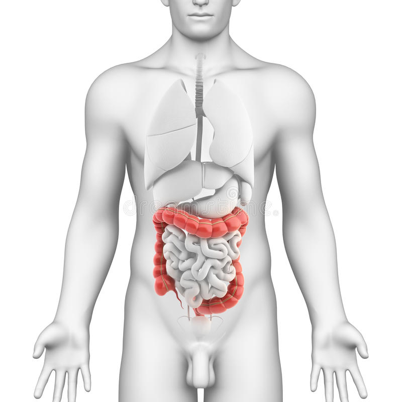 Anatomy of male digestive system vector illustration