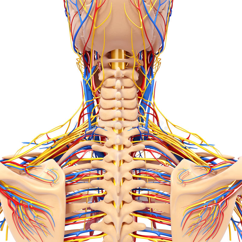 Anatomy Of Male Head Back View Circulatory System Stock Illustration
