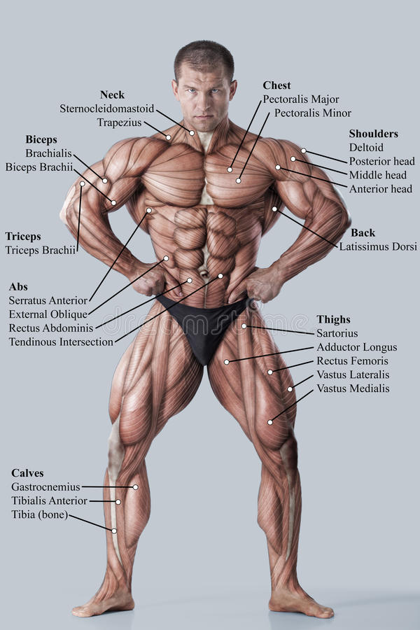 Anatomy of male muscular system stock image