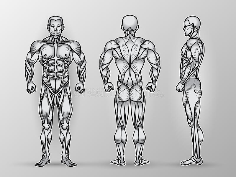 Anatomy of male muscular system, exercise and muscle guide. vector illustration