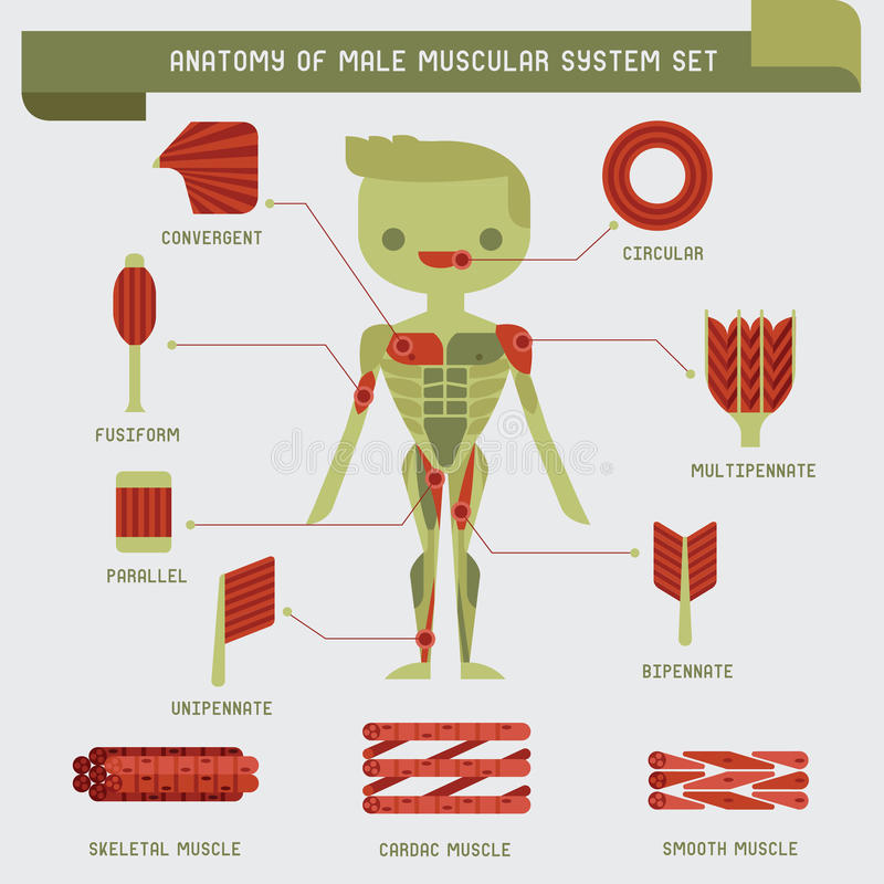 Anatomy of male muscular system vector illustration