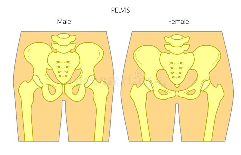 Anatomy_Male och kvinnlig bäcken vektor illustrationer