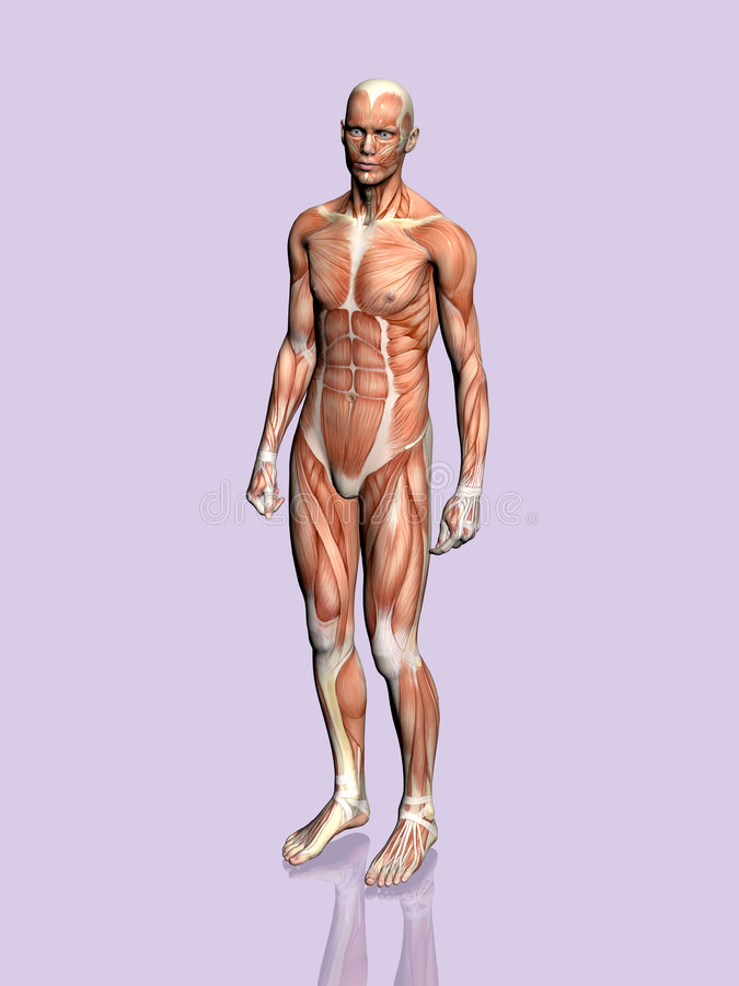 Download Anatomy Of The Man. Royalty Free Stock Photos - Image: 189238