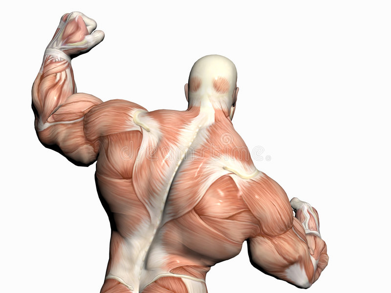 Anatomy of the man, body builder. Anatomically correct medical model of the human body, body builder close up stock illustration