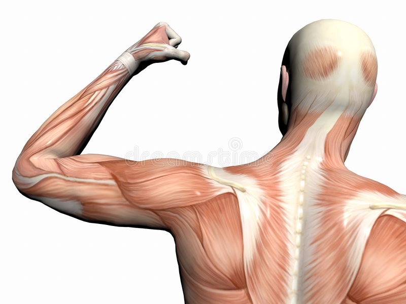 Anatomy Of The Man, Muscular Man. Stock Photography