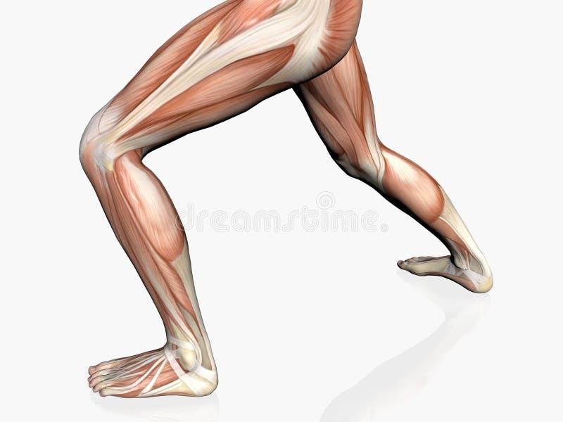 Download Anatomy Of The Man, Muscular Man. Stock Illustration - Image: 193156