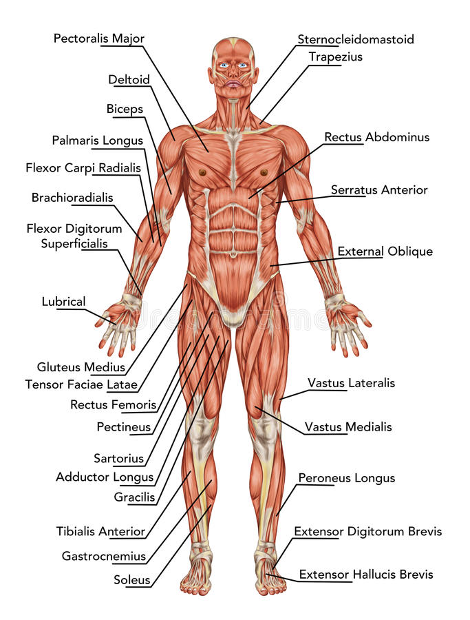Anatomy of man muscular system stock illustration