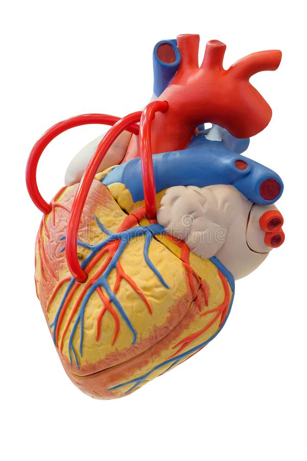 Anatomy Model Of The Cardiovascular System Stock Image - Image of ...