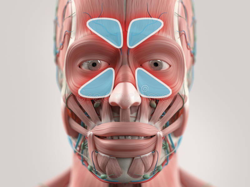 Anatomy model showing sinus infection. royalty free illustration