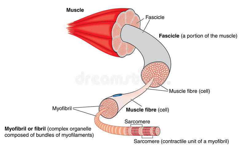 Anatomy of a muscle stock illustration