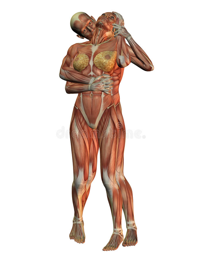 Anatomy and muscle structure
