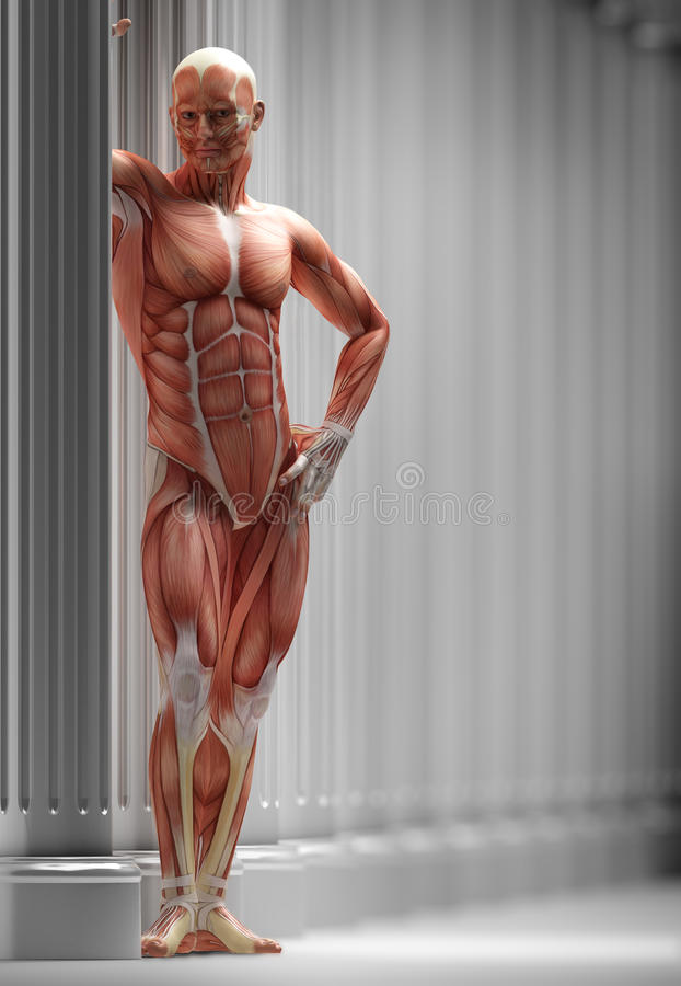 Anatomy, muscles vector illustration