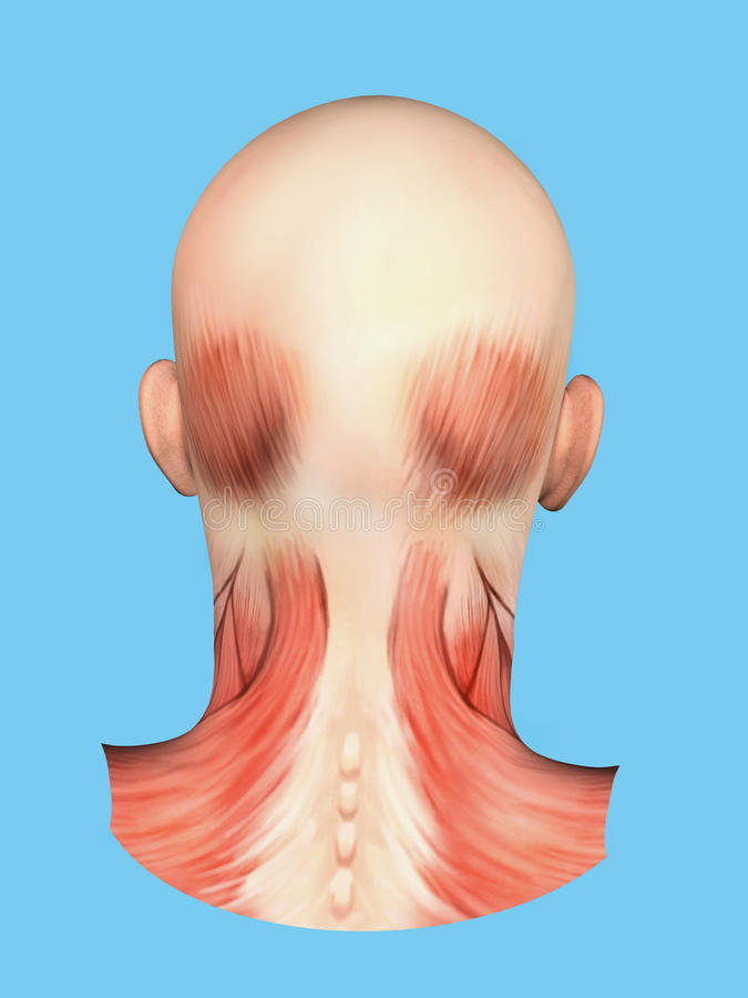 Anatomy Of Muscles On Back Of Head Stock Illustration Illustration