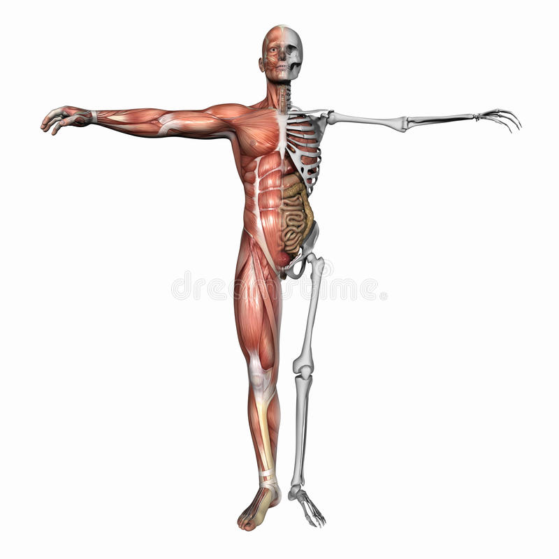 Anatomy, muscles and skeleton. High resolution 3D illustration of a human skeleton. Isolated on white background stock illustration