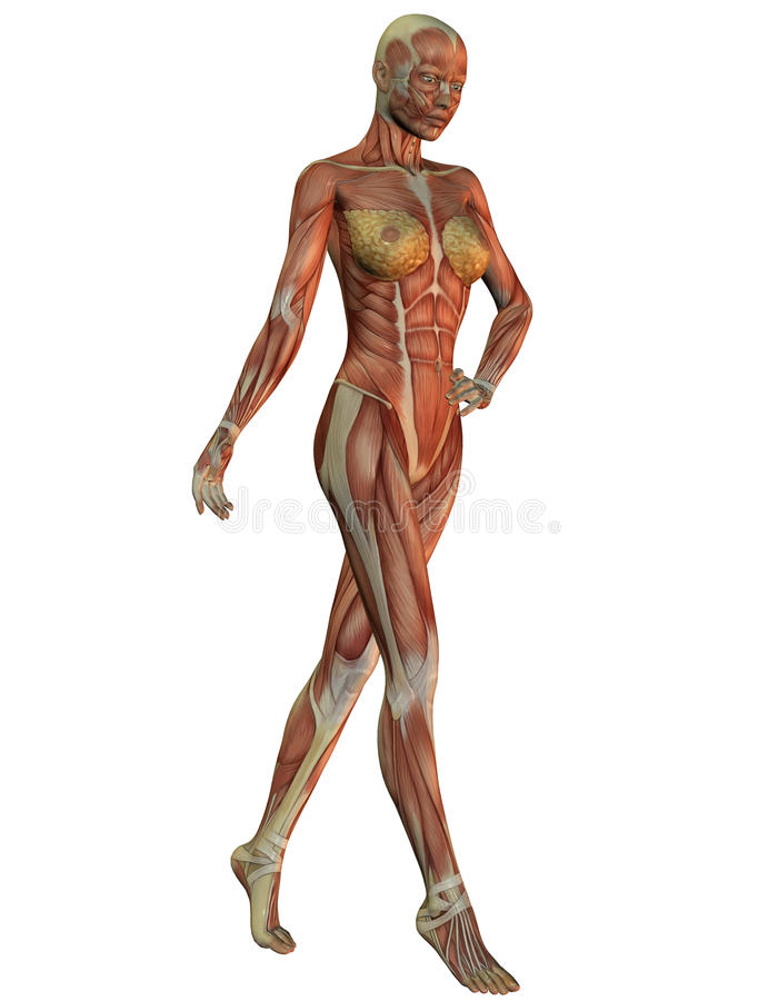 Anatomy and musculature of women in running. 3D rendering of anatomy and musculature of women in running stock illustration