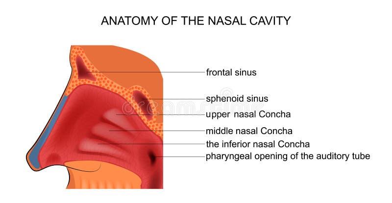 Anatomy of the nasal cavity. Vector illustration of anatomy of the nasal cavity royalty free illustration