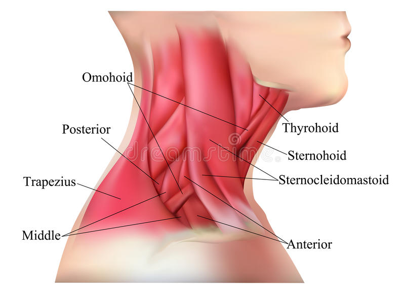 Anatomy Of The Neck Muscles Stock Illustration Illustration Of