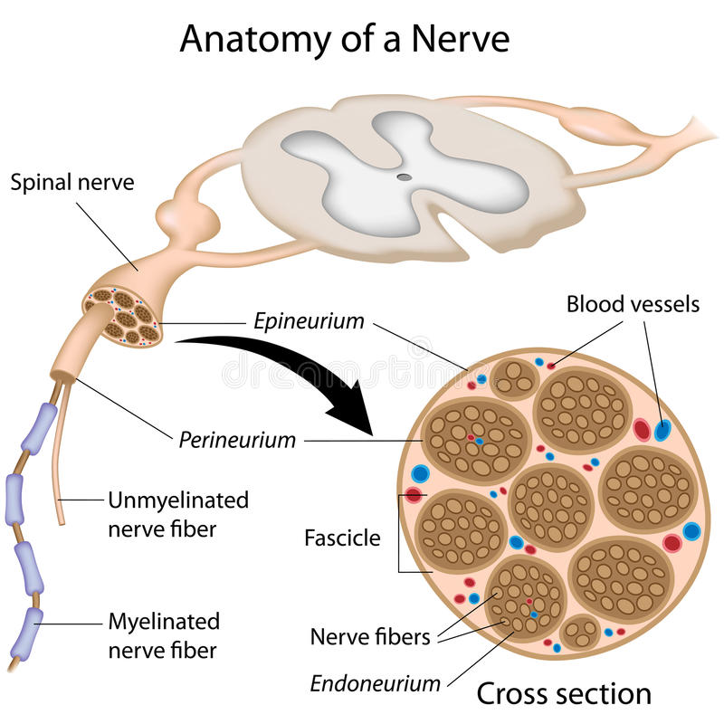 Anatomy of a nerve royalty free illustration