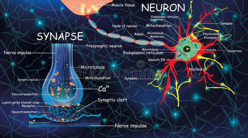 Anatomy neyron and synapse. Signaling in the brain. Cells neyron and synapse with descriptions. Structure neyron for. Anatomy neyron and synapse. Signng in the vector illustration