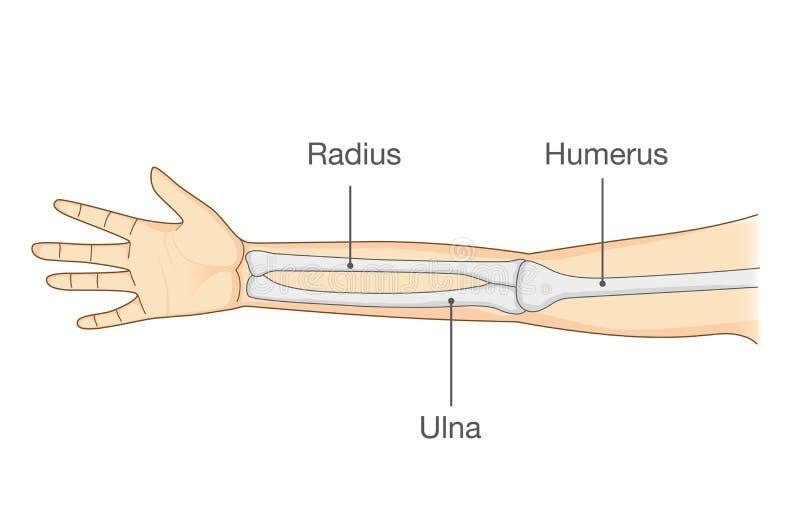 Anatomy of normal human arm bone. royalty free illustration