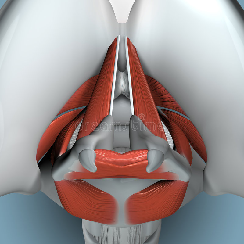 Free Anatomy Of Larynx Royalty Free Stock Images - 1663329