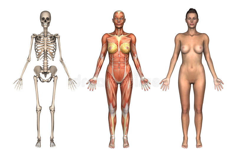 Anatomy Overlays Female Front Stock Illustration - Illustration of ...