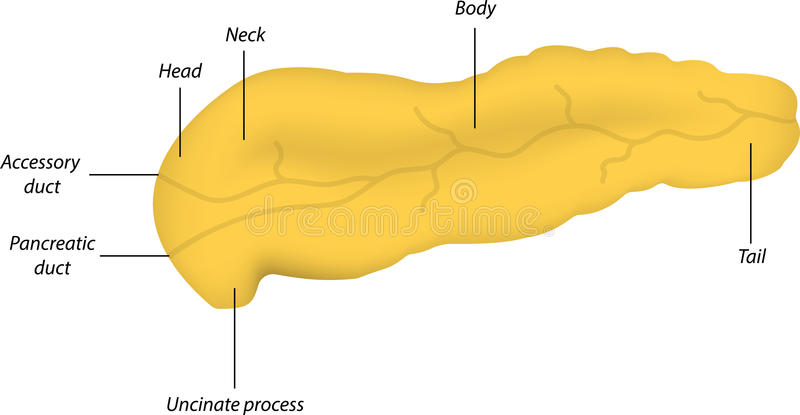 Anatomy of ampulla of vater