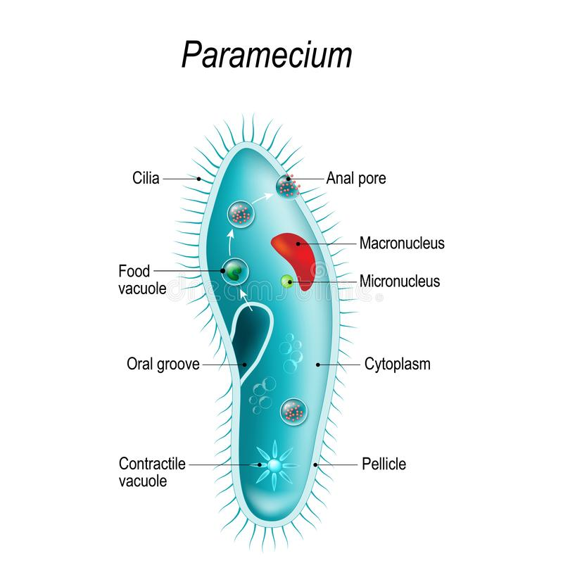 Structure Of A Paramecium Stock Vector  Illustration Of