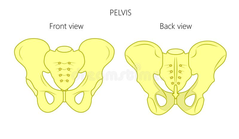 Anatomy_Pelvis framdel- och baksidasikt stock illustrationer