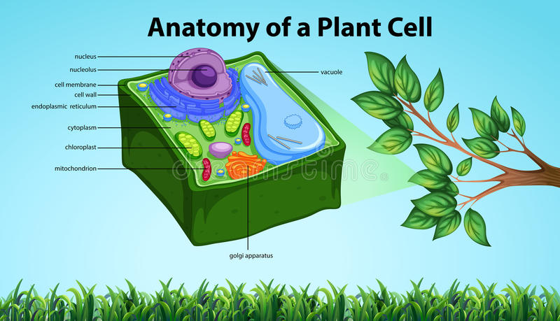 Anatomy Of Plant Cell With Names Stock Vector Illustration Of