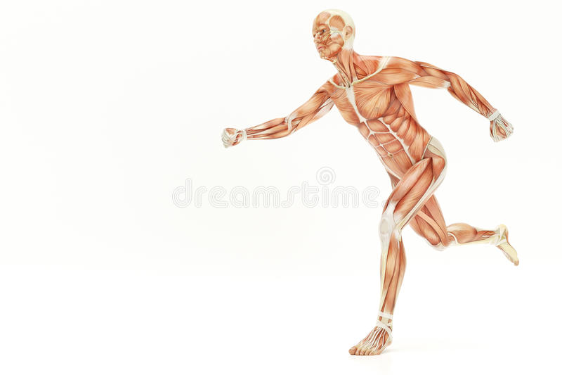 Anatomy of running human body, muscles- 3D Rendering. Anatomy of running human body, muscles - 3D Rendering vector illustration