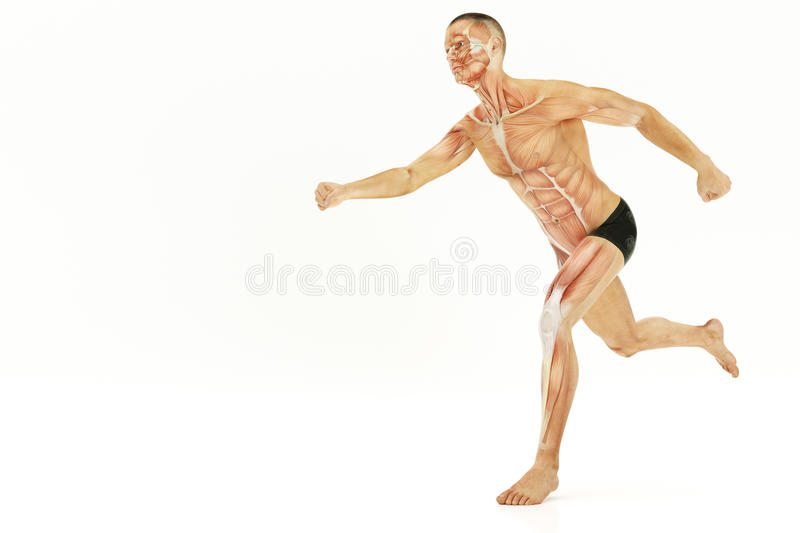 Anatomy of running human body, muscles- 3D Rendering. Anatomy of running human body, muscles - 3D Rendering royalty free illustration