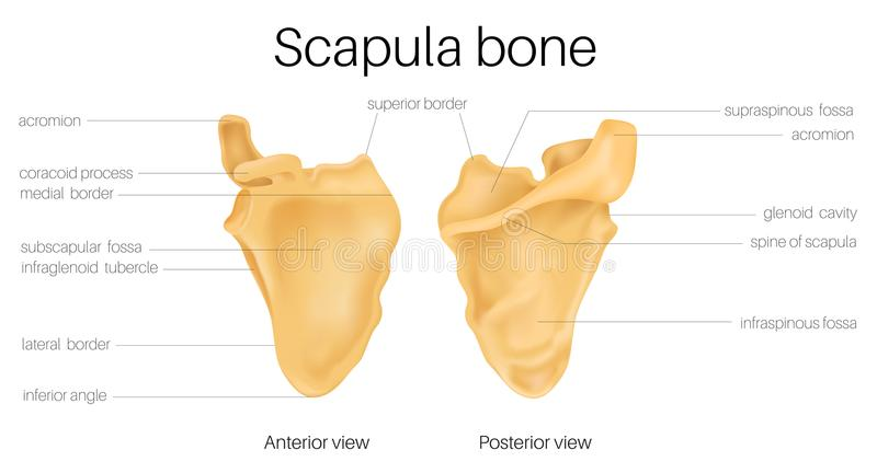 Anatomy of the scapula. The scapula is also known as the shoulder blade. this is illustration is anatomy for learn stock illustration