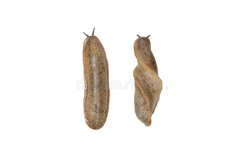 Anatomy of a Siamese slug. / Semperula siamensis isolated on white royalty free stock image