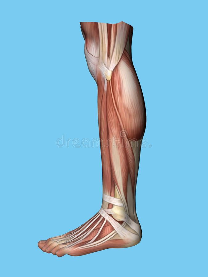 Anatomy side view of leg vector illustration