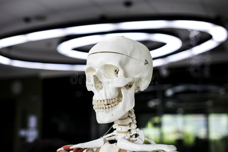 Anatomy skeleton science learning study royalty free stock photo