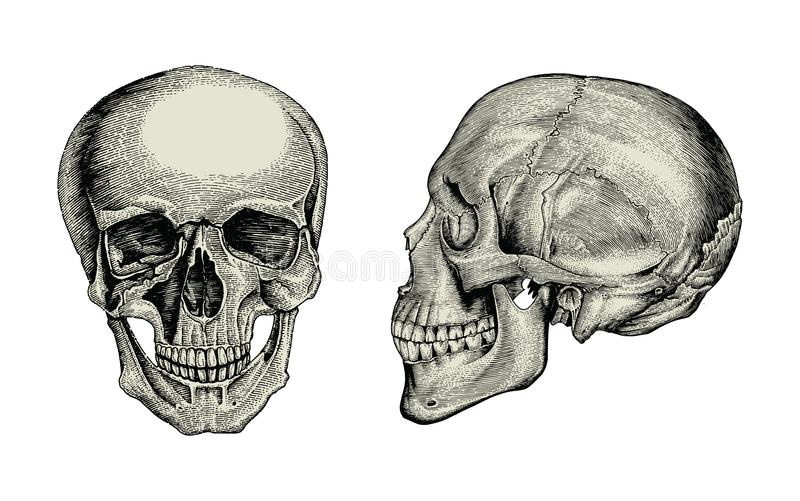 Anatomy skull hand drawing vintage,Lateral and front view of hum vector illustration
