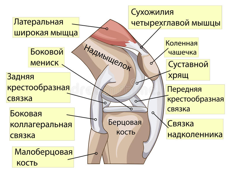 Anatomy. Structure Knee Joint Vector Stock Vector - Illustration of ...