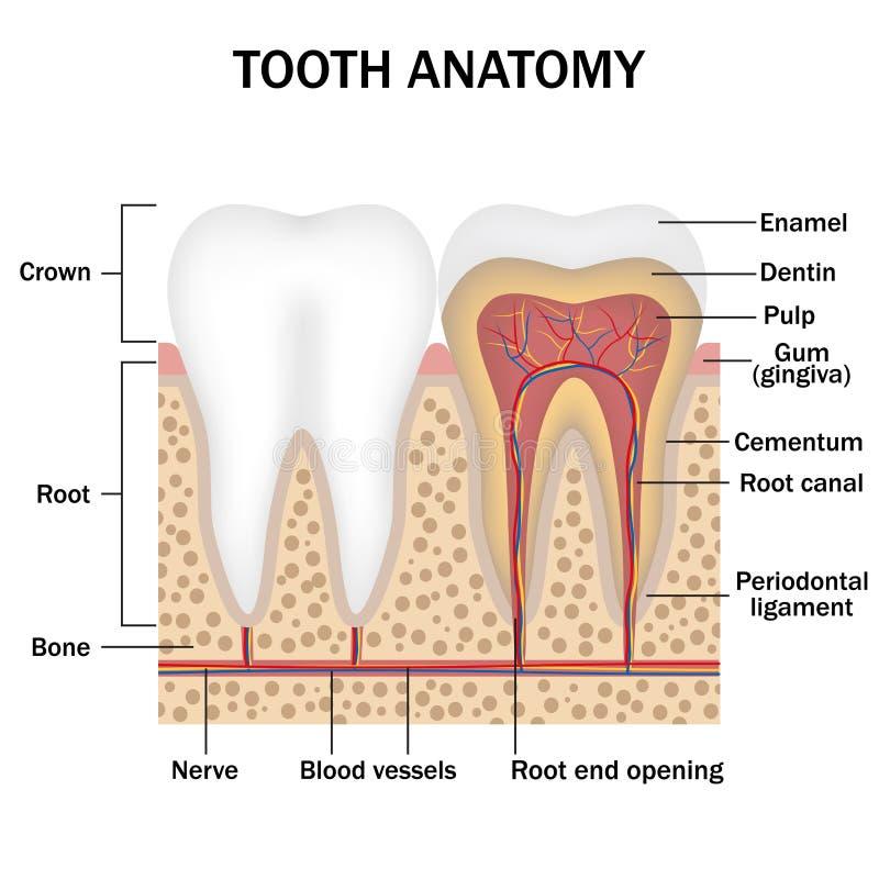 Anatomy of teeth stock vector. Illustration of bone, hygiene - 65571570