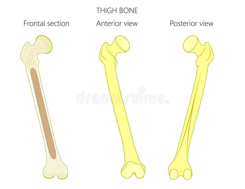 Anatomy_Thigh ben vektor illustrationer