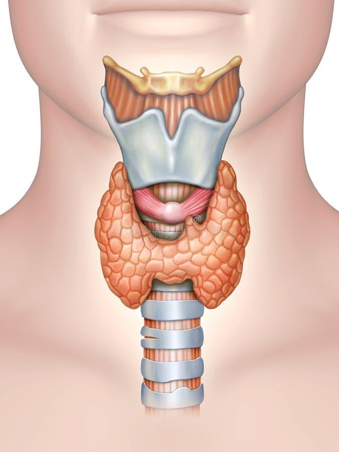 Anatomy of the thyroid gland. Digital illustration vector illustration
