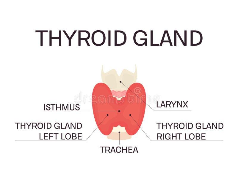 Anatomy of thyroid gland stock vector. Illustration of lobe - 107725890