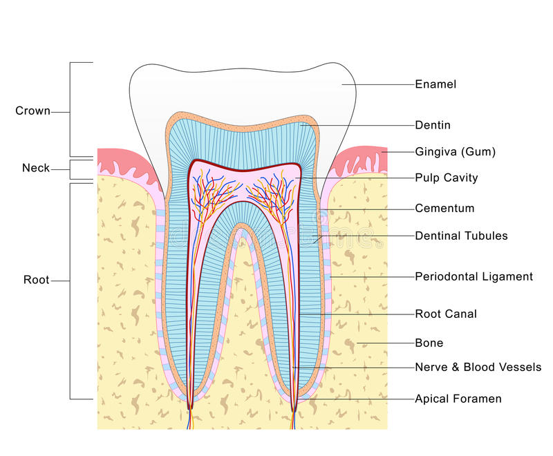 Anatomy of Tooth stock image