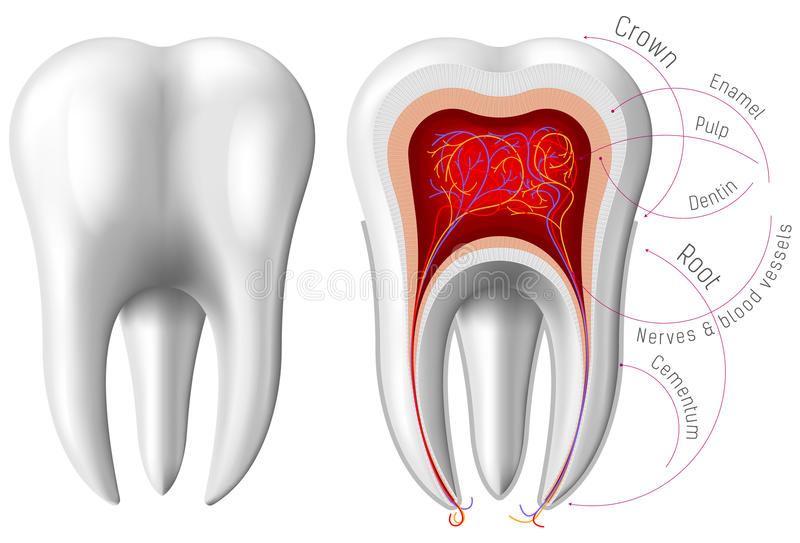 Anatomy of Tooth stock vector. Illustration of dentistry - 60622902