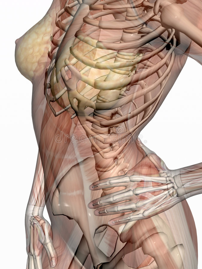 Anatomy, transparant muscles with skeleton. stock illustration