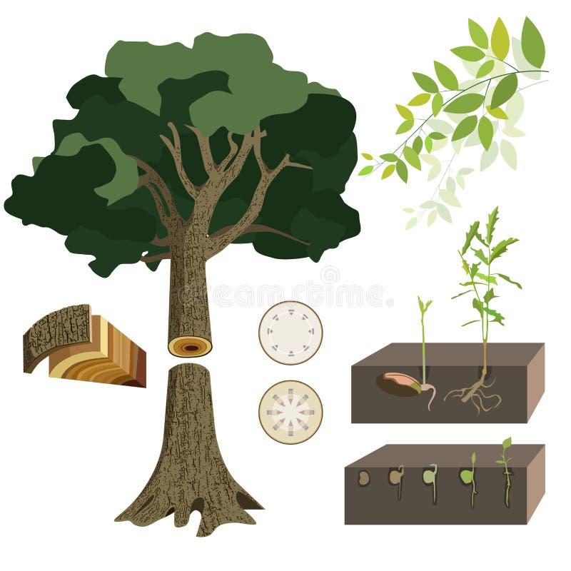 Anatomy Of A Tree Stock Illustration Illustration Of Single 71756425