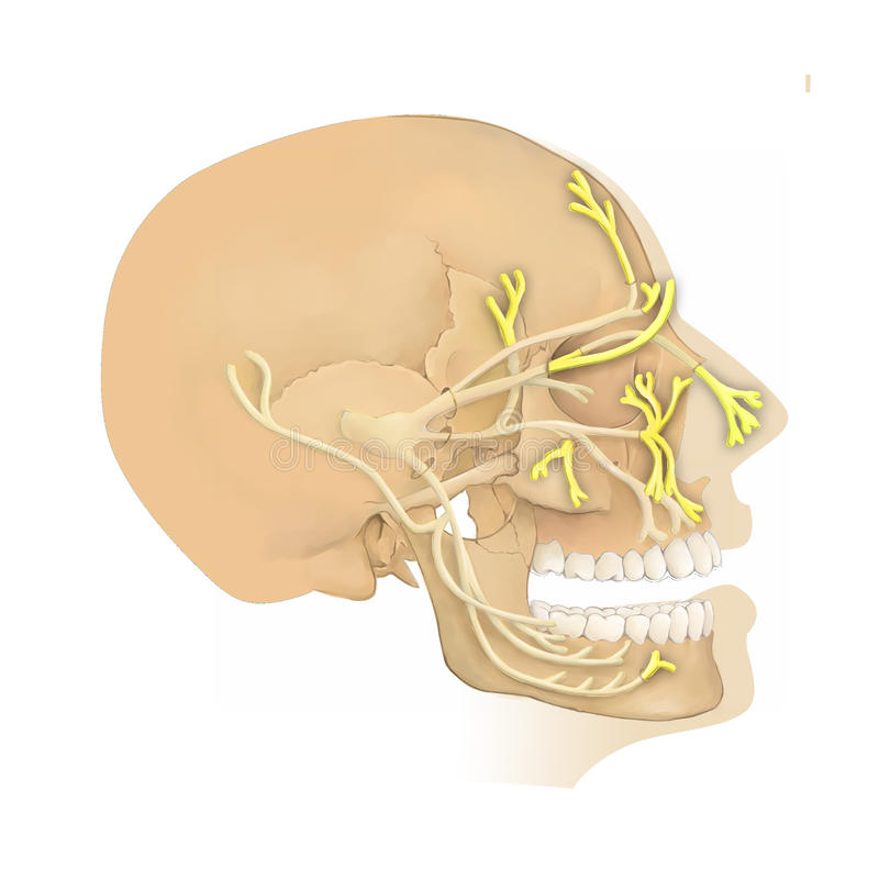 Anatomy Of The Trigeminal Nerve Stock Illustration Illustration Of