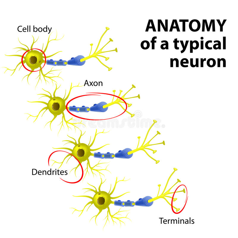Anatomy Of A Typical Neuron Stock Vector - Illustration of human ...