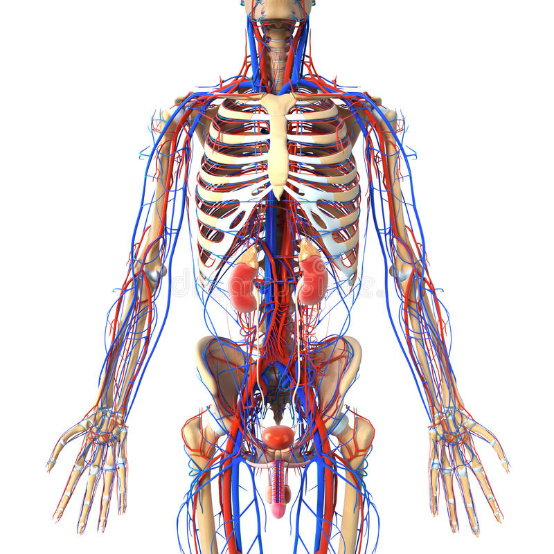 Anatomy Of Urinary System With Veins And Skeleton Stock Illustration