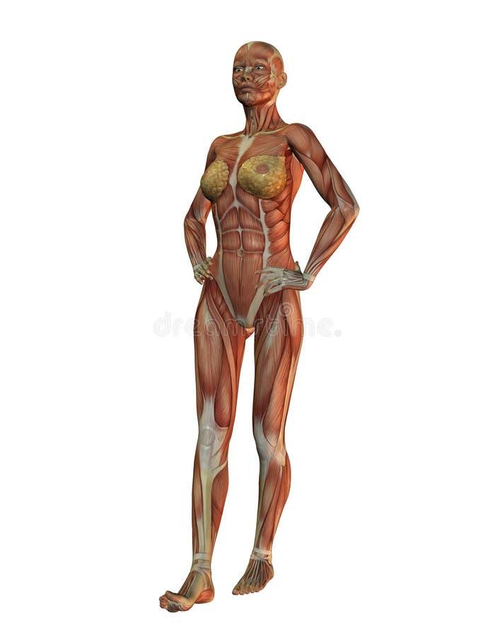 anatomy - woman full body royalty free stock photo - image: 31658515, Human Body